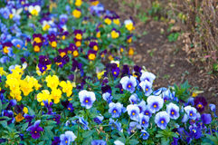 The colorful of Pansy on the ground Stock Photo