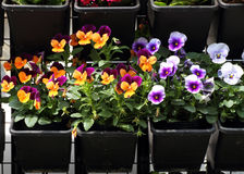 Colorful pansy planters Stock Image