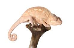 Colorful panthera chameleon Royalty Free Stock Photography