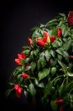 Colorful paprika tree royalty free stock photo