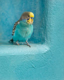 Colorful parakeet Royalty Free Stock Images