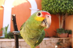 Colorful parrot. Beautiful, colorful and cute mexican parrot Stock Photos