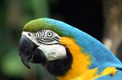 Colorful parrot. Portrait of a colorful parrot, blue and yellow plumage Royalty Free Stock Photo