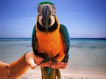 Colorful Parrot-Ara ararauna. Stock Images