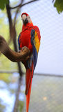 Colorful parrot ara with long beak. Perch on tree Stock Photography