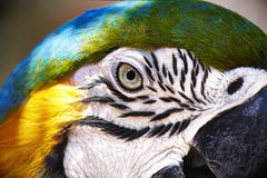 Colorful parrot ara portrait closeup stock photos