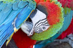 Colorful parrot bird,Green and red macaw Royalty Free Stock Photos
