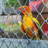 Colorful parrot bird sitting in birdcage Stock Photos