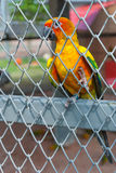 Colorful parrot bird sitting in birdcage Royalty Free Stock Photos