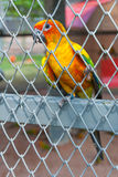 Colorful parrot bird sitting in birdcage Royalty Free Stock Photography