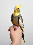 Colorful parrot bird sitting on a hand Royalty Free Stock Photos