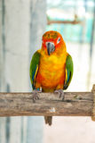 Colorful parrot bird sitting on the perch Royalty Free Stock Image