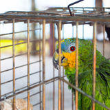 Parrot behind fence. Colorful parrot in captivity. He is looking at camera Stock Photos