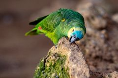 Colorful parrot is sitting on a rock stock photography