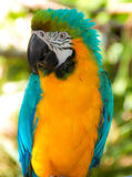 A Colorful Parrot Royalty Free Stock Photography