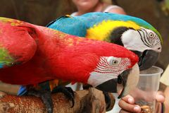 Colorful parrot cockatoo. Two colorful parrot cockatoo eat Royalty Free Stock Image