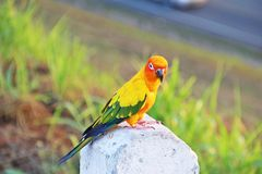 Colorful parrot. Colorfule parrot on white pillar Royalty Free Stock Photo