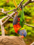 Colorful parrot eating hair Royalty Free Stock Image