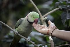 Colorful parrot eating from an Indian woman`s hand in Mysore, India stock photo