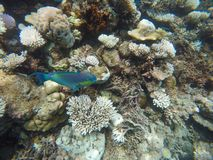 Colorful parrot fish among corals. In Ari Atoll, Maldives Stock Photos
