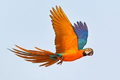 Colorful parrot flying in the sky. stock photos
