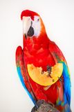 Colorful parrot isolated in white background Royalty Free Stock Images