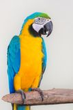 Colorful parrot isolated in white background Royalty Free Stock Image