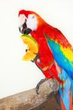 Colorful parrot isolated in white background Stock Photography