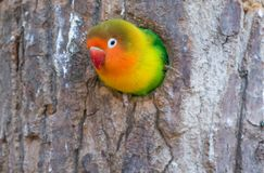 Colorful parrot ( love bird ). Agopornis fischeri , or fisher's love bird , a small colorful parrot flaunting its colors Royalty Free Stock Image