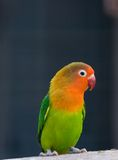 Colorful parrot ( love bird ). Agopornis fischeri , or fisher's love bird , a small colorful parrot flaunting its colors Royalty Free Stock Photo