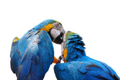 Colorful parrot love bird macaw Royalty Free Stock Image
