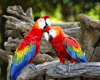 Colorful parrot macaws Stock Photography