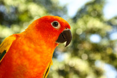 Colorful parrot in the park. A Sun Conure parrot sitting on a branch posing royalty free stock photo