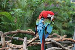 Colorful parrot perched on a wodden fence. Colorful parrot perched on a wooden fence, in the forest turning its head looking around royalty free stock photo