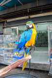 Colorful Parrot From Pet Shop. The most Colorful Parrot be outside cage Royalty Free Stock Photography