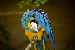 Colorful Parrot Preening Royalty Free Stock Photography