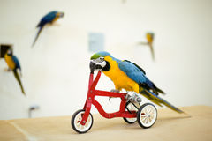 Colorful parrot riding on bicycle Royalty Free Stock Photo