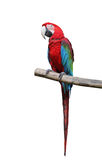 Colorful parrot saying. Royalty Free Stock Photo