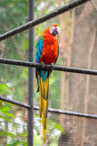 Colorful Parrot. Shot of a very colorful Parrot bird Royalty Free Stock Image