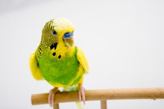 Colorful parrot sitting at the branch Royalty Free Stock Photography