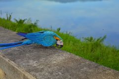 Colorful parrot in Thail Royalty Free Stock Photo