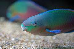 Colorful parrotfish Royalty Free Stock Photos