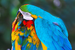 Colorful Parrots. Two beautiful Macaws over green background Royalty Free Stock Image