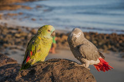 Colorful parrots Royalty Free Stock Photos
