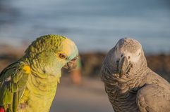 Colorful parrots Stock Photos