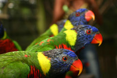 Colorful parrots. Three colorful parrots sitting on a bench royalty free stock photography