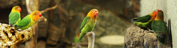 Colorful Parrots. Life.Kissing. Panorama Stock Images