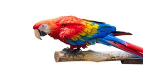 Colorful Parrots bird isolated on white background. Red and blue Marcaw on the branches. Clipping path royalty free stock photos