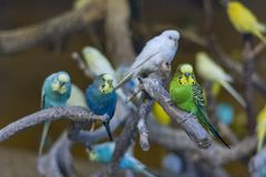 Colorful Parrots, Cocorite. Colorful parrots in the zoo, Cocorite royalty free stock image