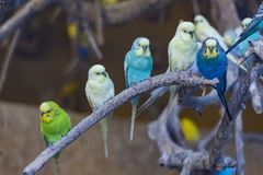 Colorful Parrots, Cocorite. Colorful parrots in the zoo, Cocorite stock photo